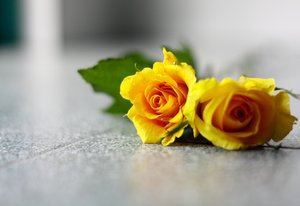 Roses 1: Snapshots of bright yellow roses