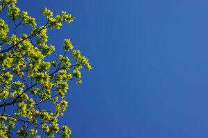 Oak leafs on blue sky: Spring green oak leafs against a clear blue sky