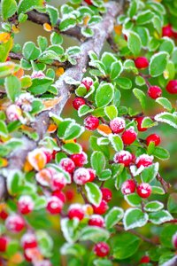Frosty red berries 1