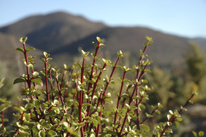 Karoo Succulents 9: Study of Karoo succulents, some of which are endemic to South Africa, and a few of which are endemic to the Warmwaterberg mountain range only! All beautiful...Credit to read