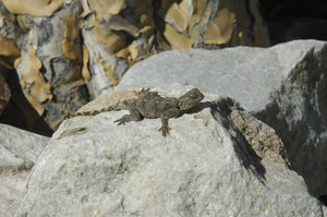 Sunbathing rock lizzard: A rock lizzard sunbathing in the Karoo, South Africa.NB: Credit to read 