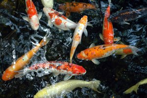 koi 2: Koi Fish.NB: Credit to read