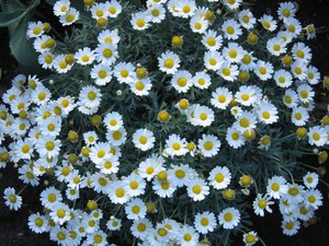 marguerites or camomile?