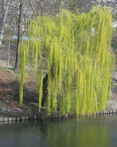 weeping willow at a lake