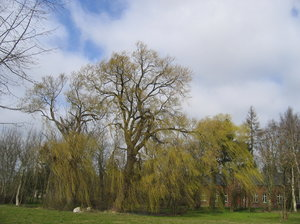 big weeping willow