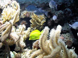 sea life with a yellow tang: tropical sea life with a yellow tang and lots of coralsThe question was - what kind of fish is this yellow beauty? (see the comments)