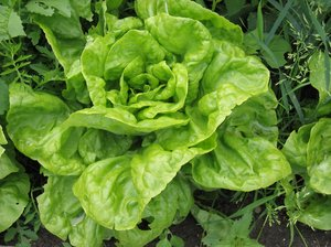 lettuce on a field