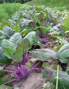organic vegetable field - kohl
