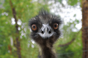 Earnie the Emu: Earnie - very lovable Emu that is friendly. waratah park where I do volunteer work, NSW Australia. Earnie Loves Comments!
