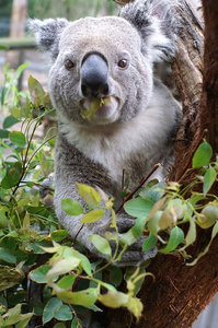 Koala Eating: Koala at Waratah Park NSw