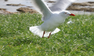 Seagull - No Feet: Seagull in flight - both feet missing, probably caught in fishing line