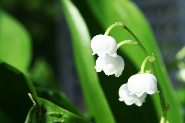 lilies of the valley: a frech bunch of lillies