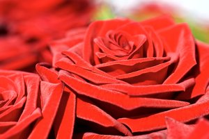 Love is red 1: Beautiful soft roses close-up
