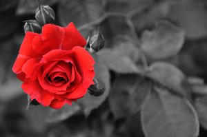 Red rose: Red rose with black and white background