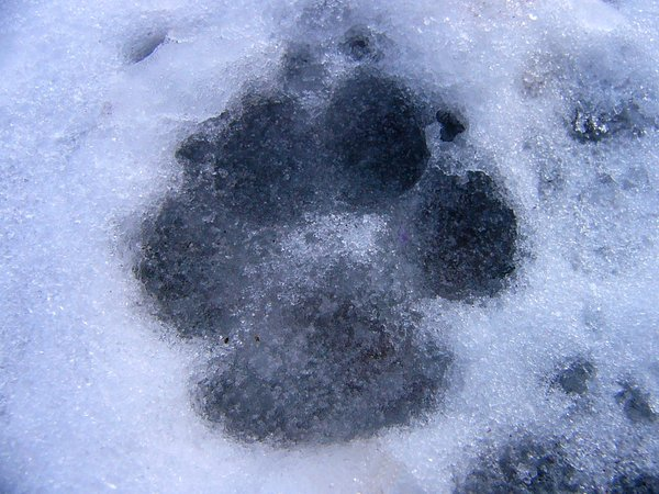 Dog-gone winter!: Paw print in the snow