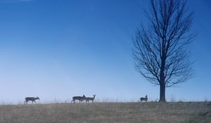 O Deer!: Deer crossing a field early one morning in the spring