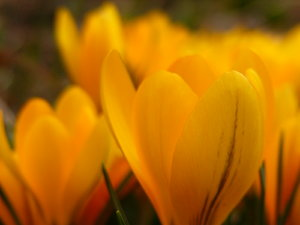Golden: Crocuses on my neighbor's lawn