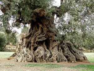 The Queen 2: ancient olive in ortumannu sardinia