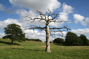 Dead tree: A dead tree in a meadow in West Sussex, England, in summer.