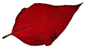 Poinsettia Leaf 2: A couple of poinsettia leaves.Please visit my gallery at:http://www.stockxpert.com ..