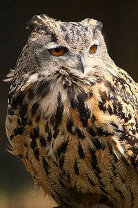 Owl: One large mean looking owl. Not much more you can say :0)
