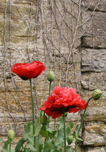 Poppies: Poppies against a stone wall