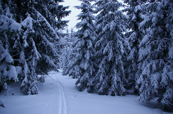 Skiing in the woods: Cross country skiing through the forest