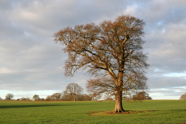 Winter oak: A solitary oak (Quercus robur) tree in a field in West Sussex, UK, on a mild day in winter.