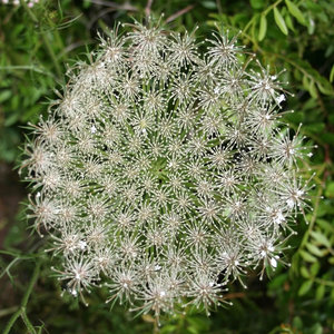Umbellifer flowerhead: The flowerhead of an unidentified umbellifer growing in Sardinia.
