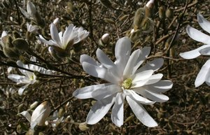 Free stock photos rgbstock free stock images white magnolia white magnolia flowers mightylinksfo