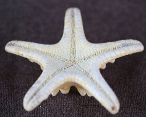 starfish: creamy coloured starfish