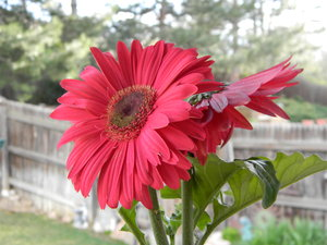 April Flowers: Some new gerber daisies my dad bought for our garden.