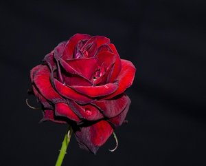 Rose I: Red rose