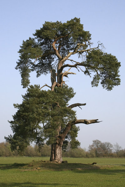 Scots pine: An old isolated Scots pine (Pinus sylvestris) in West Sussex, England.
