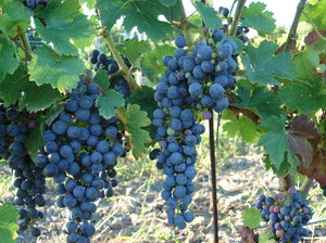 Make wine!: fresh grapes