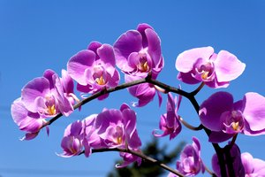 Orchid: Purple orchid