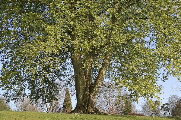 Beech tree in spring: A large beech (Fagus sylvatica) tree in West Sussex, England, in spring.