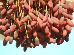 dates 2: date palm in Egipt