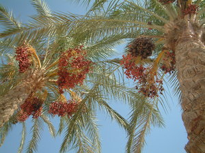 dates 4: date palm in Egipt