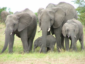 Elephant family: Family of elephants (Masai Mara, Kenya)