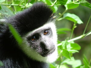 Colobus Monkey: Colobus monkey (Crater Lake, Kenya).