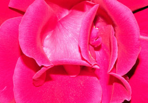 Shocking pink rose