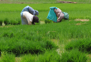 Planters in the Paddy field