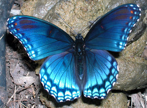 LIMENITIS BUTTERFLY: DISREGUARD THE BACKGROUND