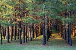 MARCHING PINE TREES: TREE FARM PINE TREES