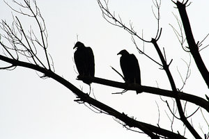 LOOK LEFT: TWO BLACK VULTURES