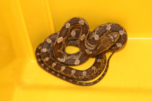JUVENILE BLACK RAT SNAKE