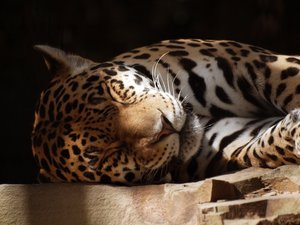 Jaguar: Sleeping jaguar at Zoo Antwerp.