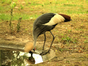 Grey Crowned Crane: Beautiful bird at Planckendael, Belgium.