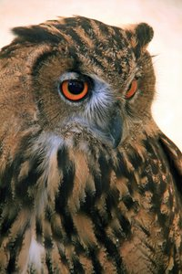 Eagle Owl: no description